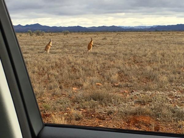 Kangaroos 3