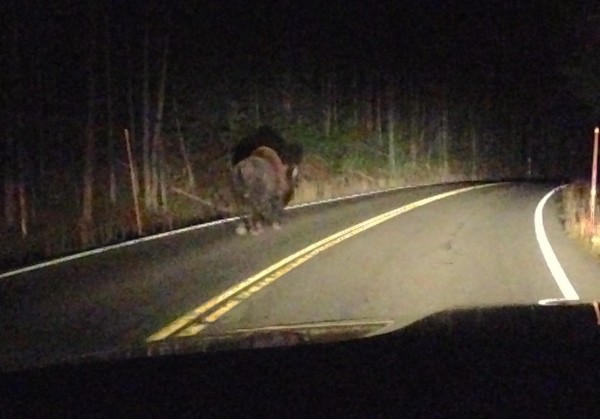 Bison Yellowstone NP