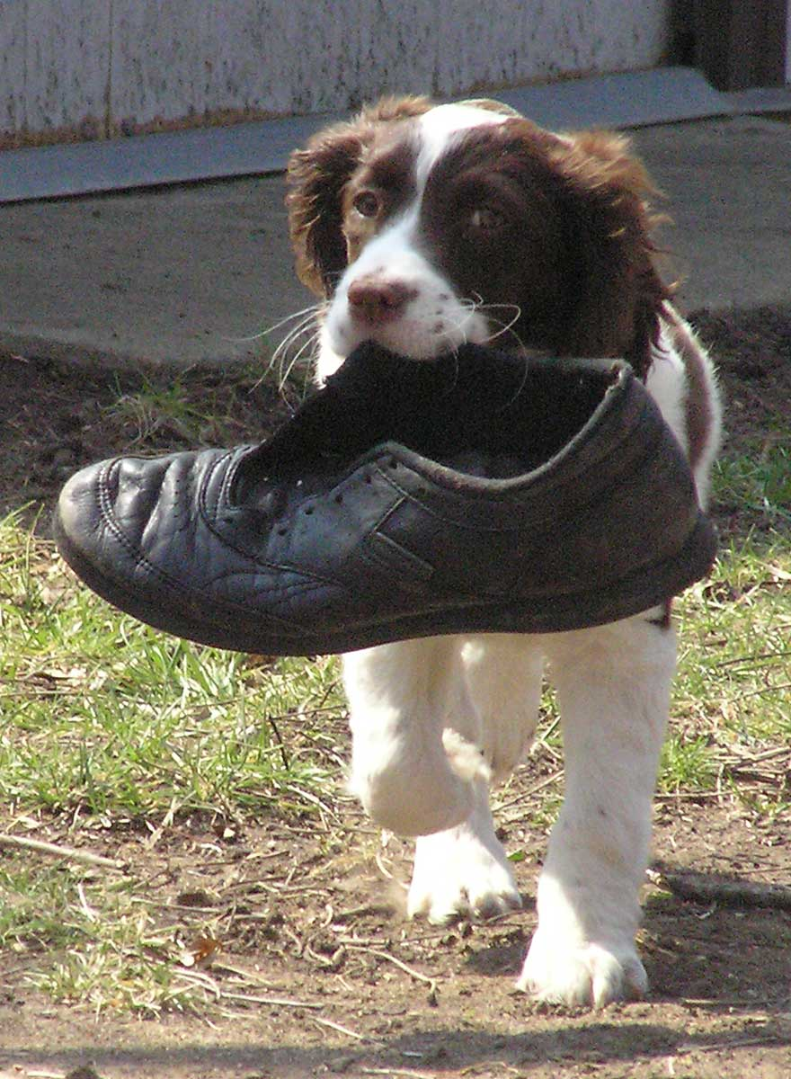 Trixie with old tennis shoe