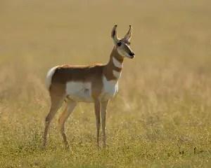 Pronghorn-Antelope