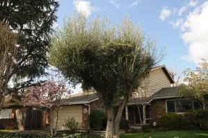 bad trim olive tree