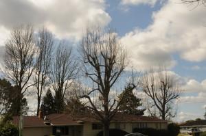 butchered trees in yard