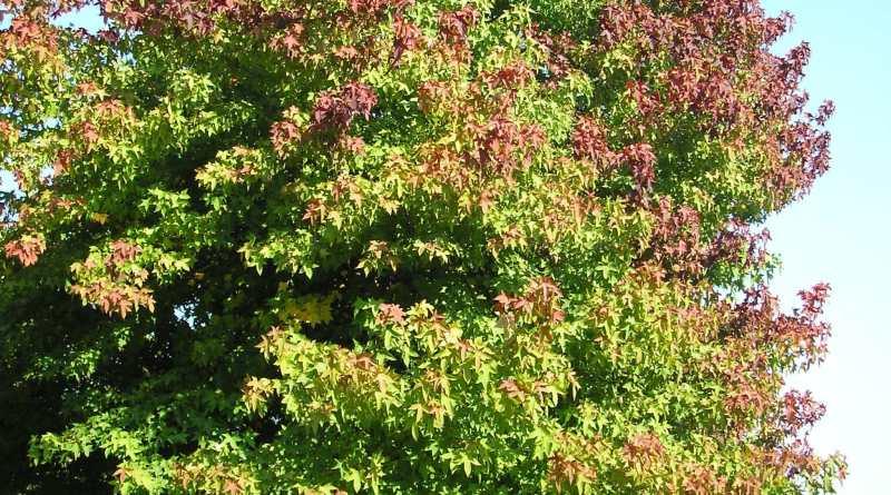 Liquidambar styraciflua sweet gum tree