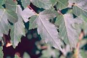 Acer ginnala Maxim, Amur Maple