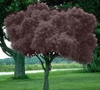 smoketree3