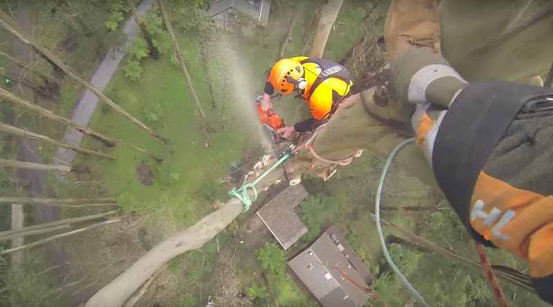 Spectacular Arborist Removes Tree Limbs From 229 Foot Tree