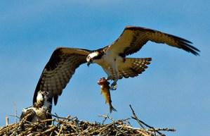 m_1004 osprey