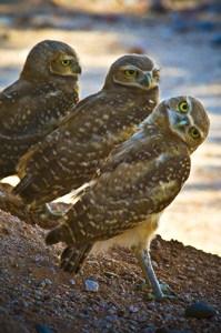 owl62809-042