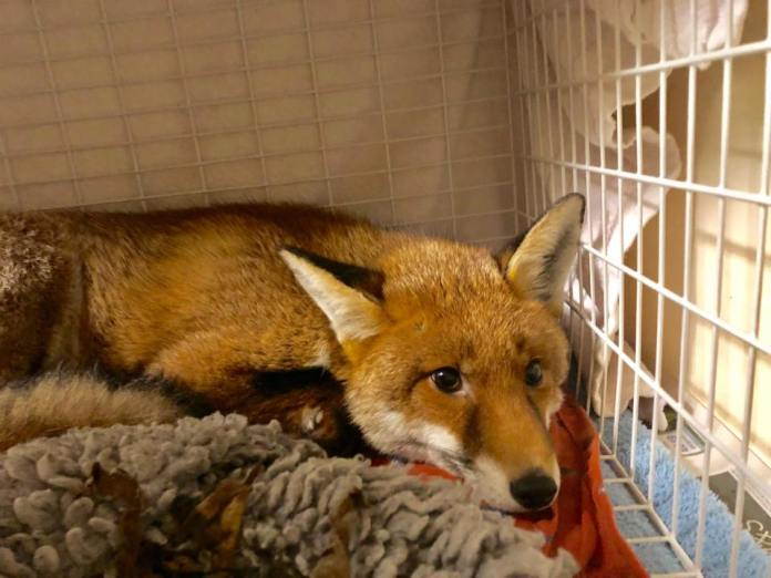 The fox was rescued from Kim Fryer's home by the RSPCA. Credit: RSPCA