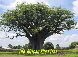 The African Shea Tree