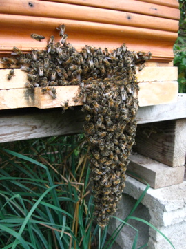 The bees are cooling down on a hot day,