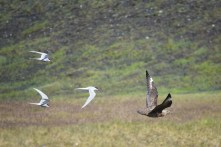 Great skua chased by arctic terns