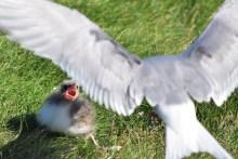 Acrtic tern