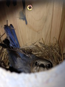 The mother bluebird laying on her eggs in the nest. She'll produce three to six eggs, laying one a day.
