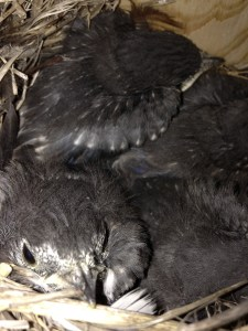 Do not open box after nestlings are 14 days old.
