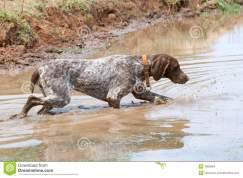 german-short-hair-pointer-dog-detecting-scent-7863964