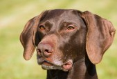 Portrait of a beautiful german short haired pointer looking very alert