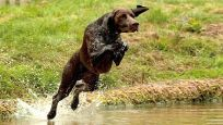 German-Shorthaired-Pointer-in-Water