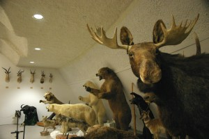 Hays Sternberg Museum stuffed wildlife Nov 2009