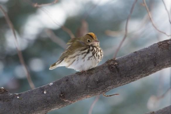 Ovenbird in Longmont, Dec 2013
