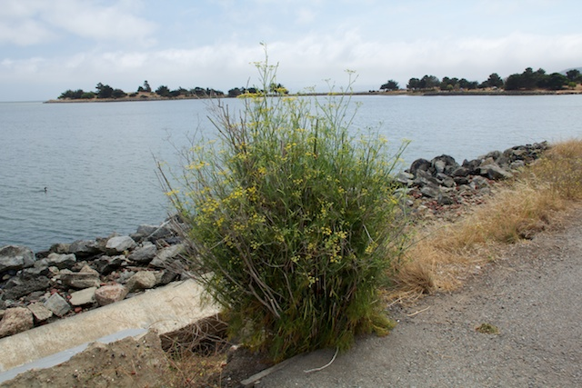 Candlestick Point State Recreation Area, wild fennel plant with cormorant on SF Bay, August 2014