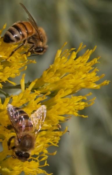 2794 rabbitbrush 2 bees 2 Oct 2010
