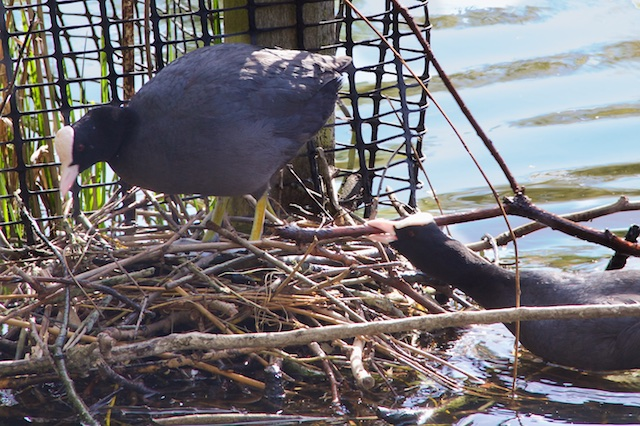 Coots building nest, St. James Park, London, UK, April 2014