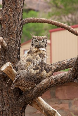Great horned owl at Navajo Nation zoo, with injured wing, on perch in enclosure, 2013