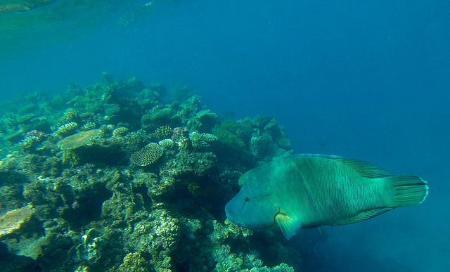 Maori wrasse. Photo by Todd Bradley.