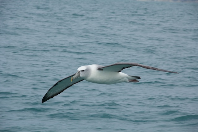 Albatross Encounter Kaikoura 3