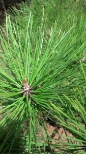 Green pine http://www.BethSawickie.com