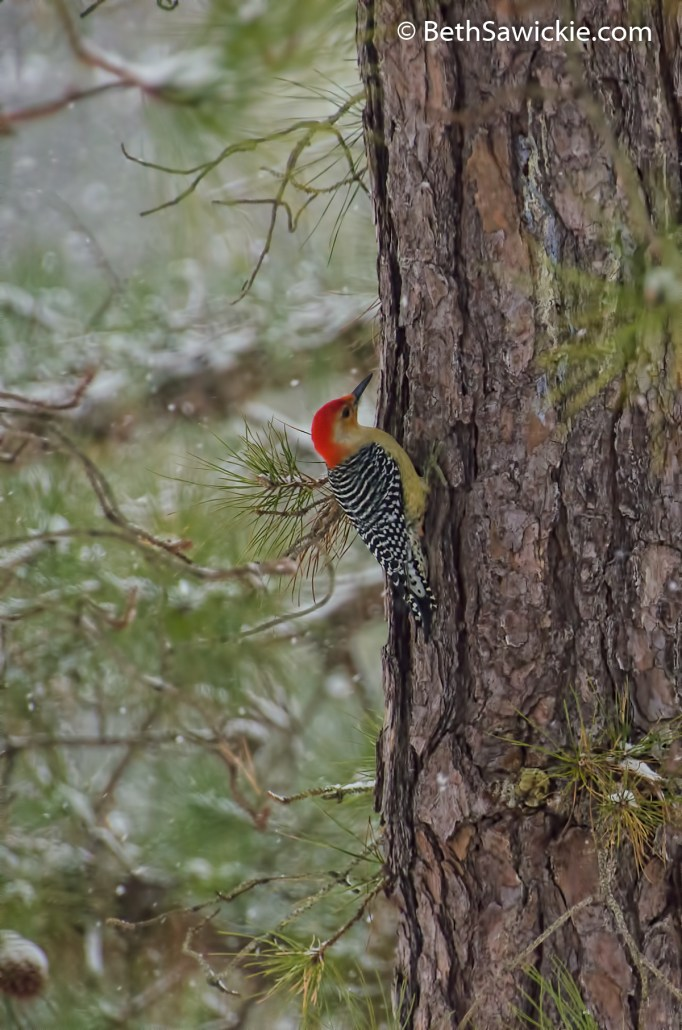 Red Bellied Woodpecker by Beth Sawickie