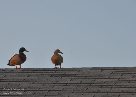 Ducks on roof - http://www.BethSawickie.com
