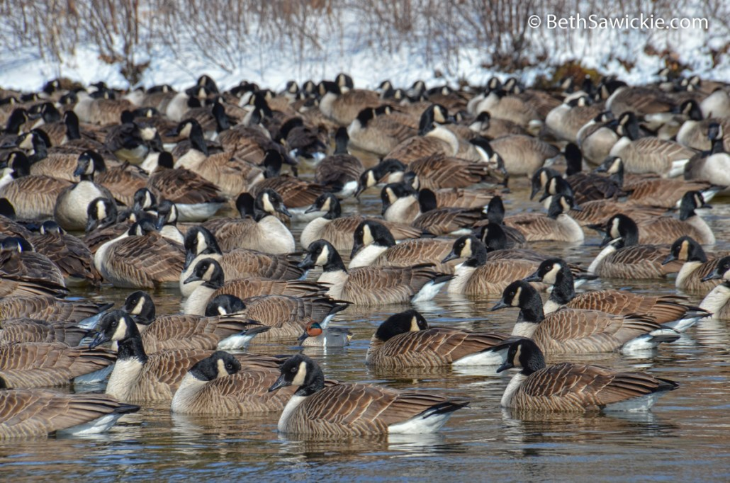 Teal in the Gaggle by Beth Sawickie