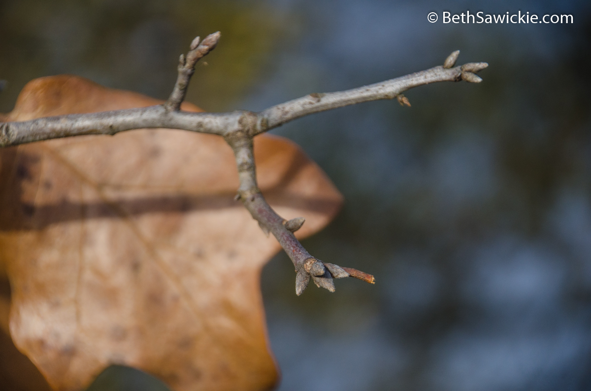 Blackjack Oak Tree Buds