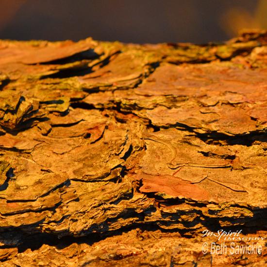 """Image by Beth Sawickie. www.BethSawickie.com """"Glowing Pine Bark"""""""