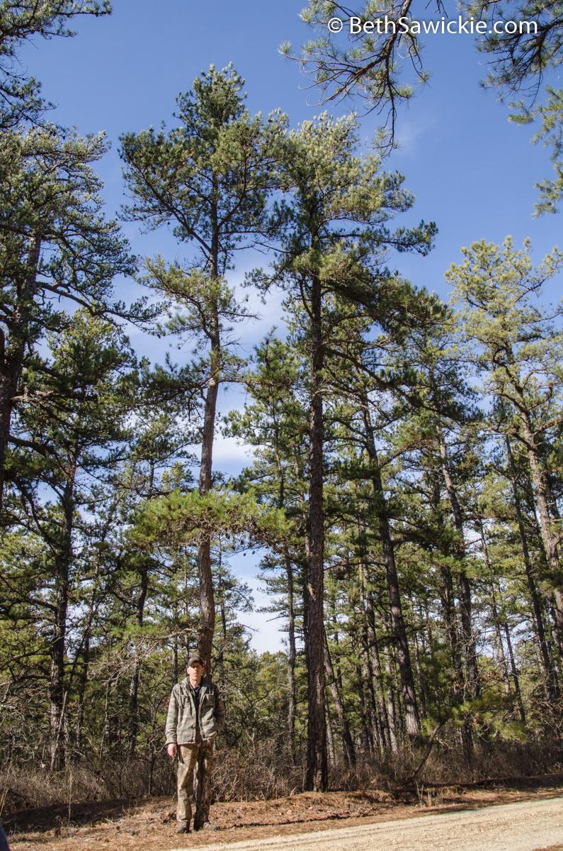 Tall Pitch Pine by Beth Sawickie
