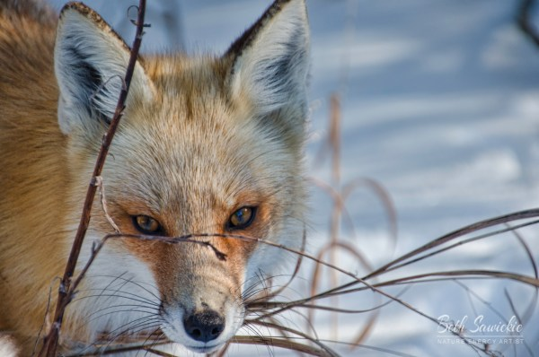 Red Fox Stare by Beth Sawickie