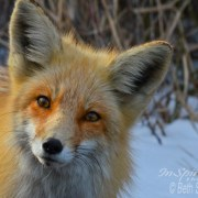 "Image by Beth Sawickie - http://www.bethsawickie.com/inquisitive-red-fox ""Inquisitive Red Fox"""