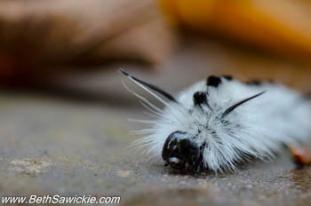 Hickory Tussock Caterpillar at Ricketts Glen, PA by Beth Sawickie http://bethsawickie.com/our-ricketts-glen-adventure/