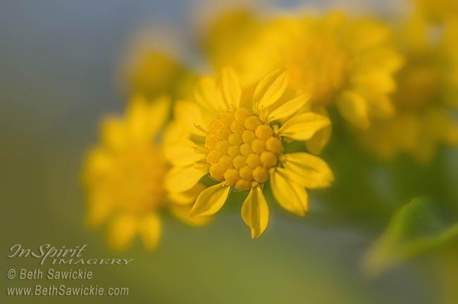 Seaside Goldenrod Florette by Beth Sawickie http://bethsawickie.com/seaside-goldenrod-florette