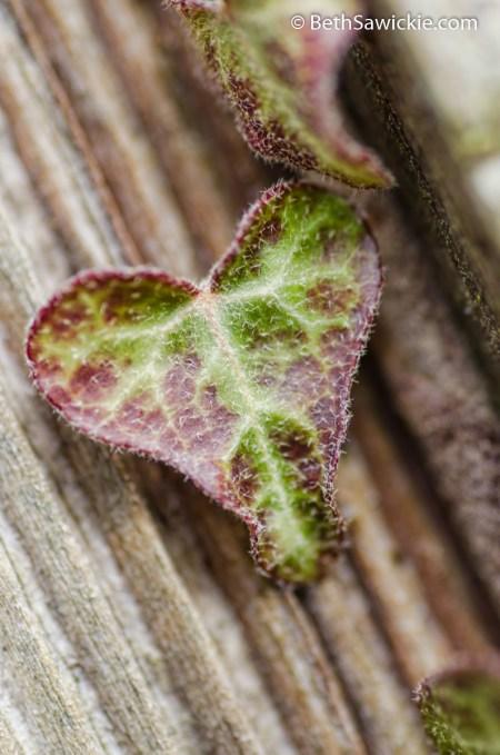 Heart shaped ivy leaf by Beth Sawickie