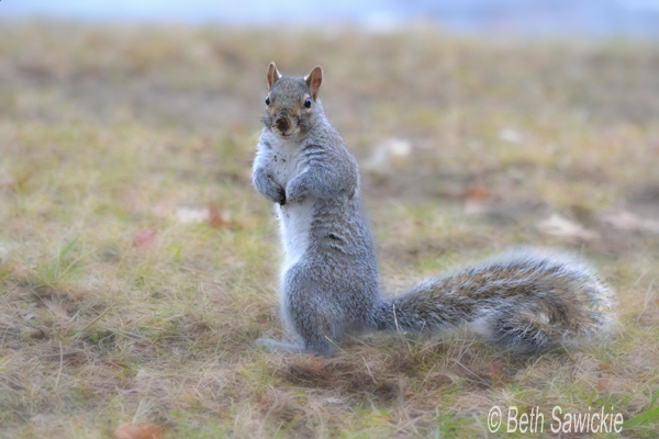 """Image by Beth Sawickie. www.BethSawickie.com """"Squirrel With Dirt on Nose"""""""