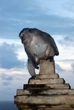 - A monkey and a cloudy sunset in Uluwatu Beach -