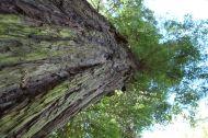 A redwood in the Kutaisi Botanical Garden.