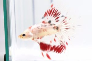 Male Koi betta Fish
