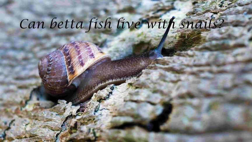 Can betta fish live with snails?
