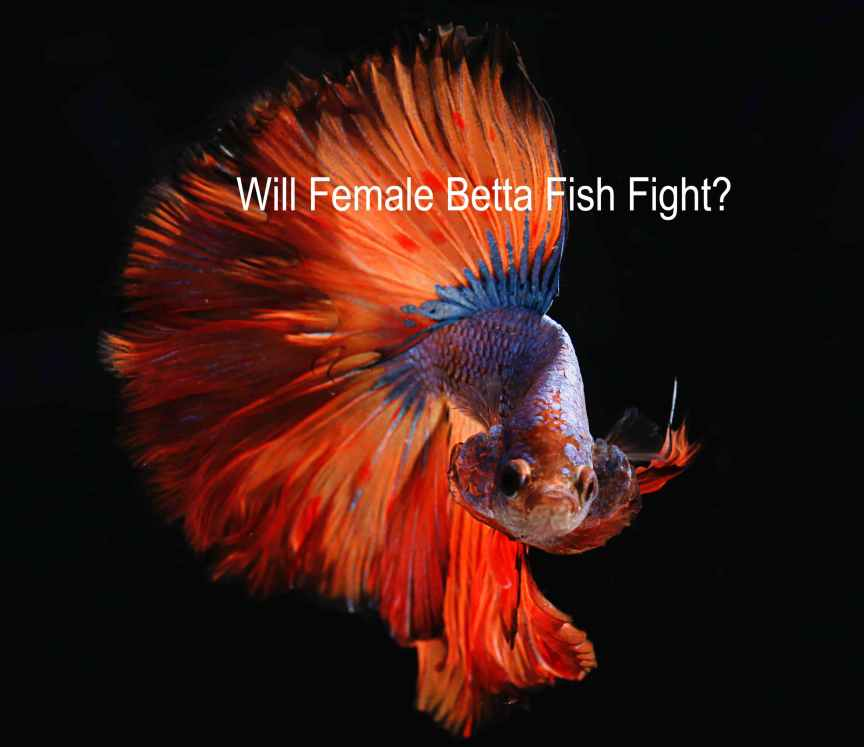 Will Female Betta Fish Fight?