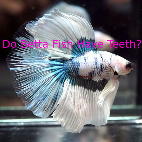 Do Betta Fish Have Teeth?