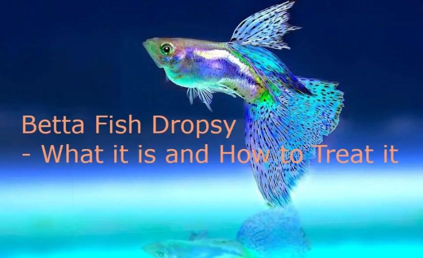 Betta Fish Dropsy